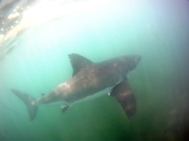 GoPro Hero Great White Shark video Chuck patterson