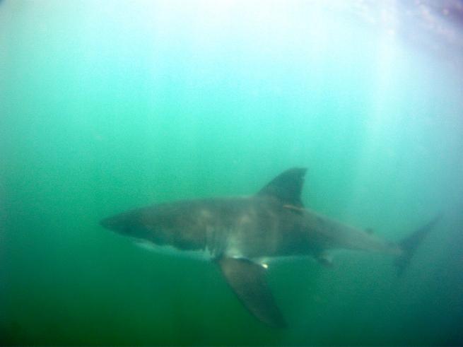 GoPro Hero Great White Shark in the USA